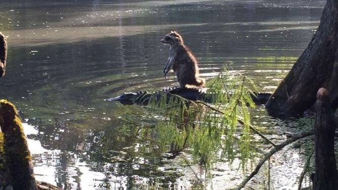 Łasica na dzięciole jest passé. <br />Poznajcie szopa na aligatorze
