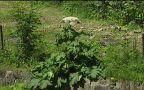 Barszcz Sosnowskeigo to chwast, która zagraża rodzimym roślinom